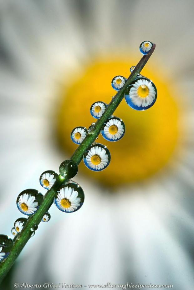 Daisy Reflection, ©Alberto Ghizzi Panizza